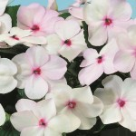 Impatiens walleriana Balance  F1 Bright eye