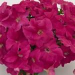 Petunia Limbo F1 Rose