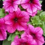 Petunia Lambada F1 Red veined