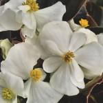 Begonia semperflorens Bada Boom F1 White