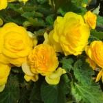 Begonia Nonstop F1 Yellow