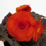 Begonia Nonstop Mocca Deep Orange