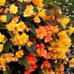 Begonia tubernybrida  Iiiumination F1 Apricot Snades