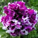 Petunia multiflopa double Pirouette  F1 Purple