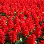 Salvia splendens Tango