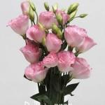 Eustona grandiflorum ABC F1 Misty Pink