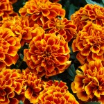 Tagetes patula Chica flame