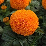 Tagetes Antigya  F1  Orange