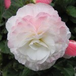 Begonia Nonstop Appplebiosson