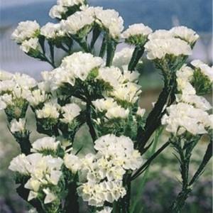 Limonium sinuatum QIS  White