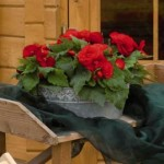 Begonia Nonstop  F1   Red