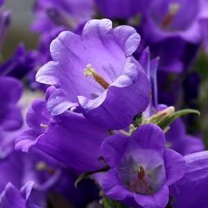 Campanula medium Campana F1 Deep Blue