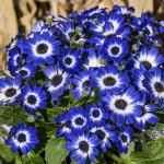 Cineraria cruentus/Pericallis cruenta F1 Venezia Delft Blue witn (Цинерария)