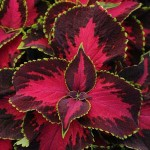 Coleus Covered Cherry