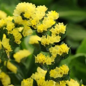 Limonium sinuatum QIS Yellow