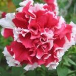 Petunia multiflopa double Pirouette  F1 Rose