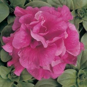 Petunia F1 multiflora double Duo Rose