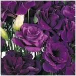 Eustona grandiflorum ABC F1 Misty Purple