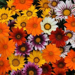 Gazania rigens NEW DAY F1 mixed