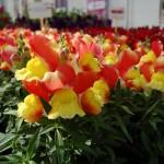 Antirrhinum majus Snappy F1   Orange-yellow