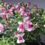 Antirrhinum majus Snappy F1    Orhid