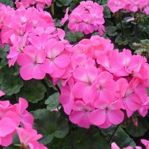 Pelargonium hortorum Nano F1 Pink