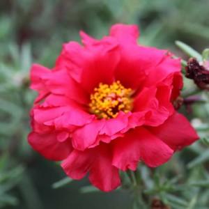 Portulaca grandiflora Sunnyside F1 Cherry Red (Портулак серия Sunnyside F1)