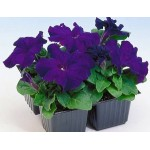Petunia Limbo F1 blue