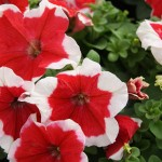 Petunia Limbo F1 red picotee