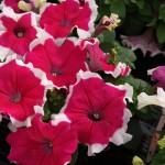 Petunia Limbo F1 rose picotee