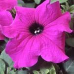 Petunia Tango F1 violet