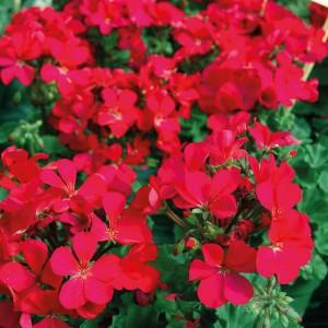 Pelargonium hortorum Nano F1 Violet